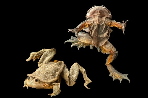 How poachers of this rare frog became its protectors