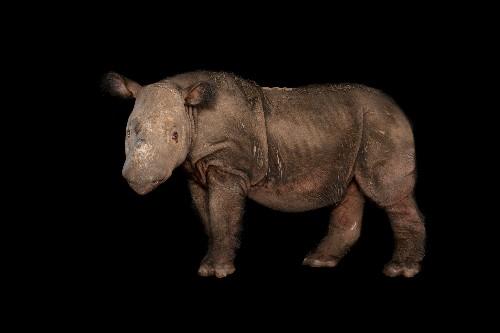 Last Sumatran rhino in Malaysia dies