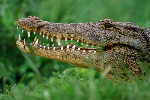"""Crocodiles Are Not """"Living Fossils"""""""