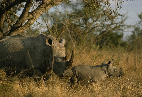 Legalizing Rhino Horn Trade Won't Save Species, Ecologist Argues