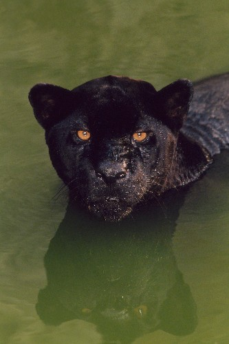 Is being a black panther beneficial? It depends.