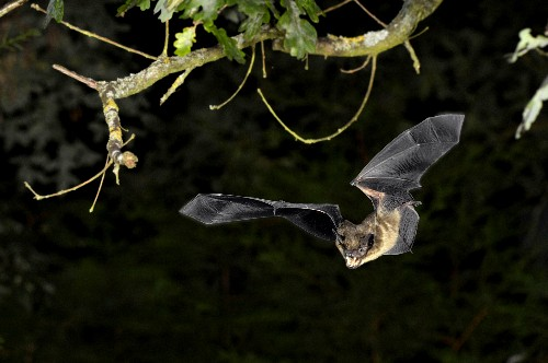Climate Change Affects Ultrasonic Bat Signals For Better, Worse