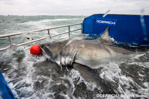Scientists Track a Great White Shark Across the Atlantic for the First Time