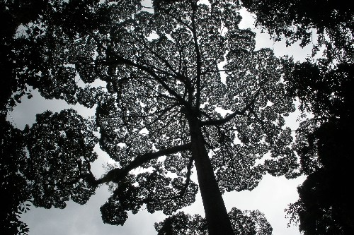 World's Tallest Tropical Trees Discovered