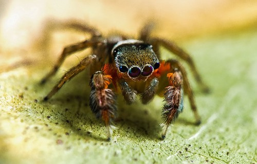50 New Spiders Discovered In Australia