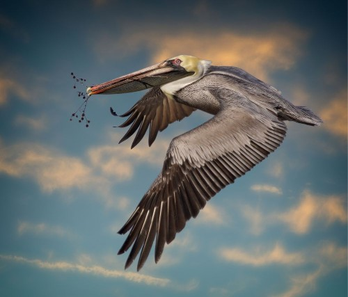 Pelican with nest materials Photo by Sandy Scott — National Geographic Your Shot