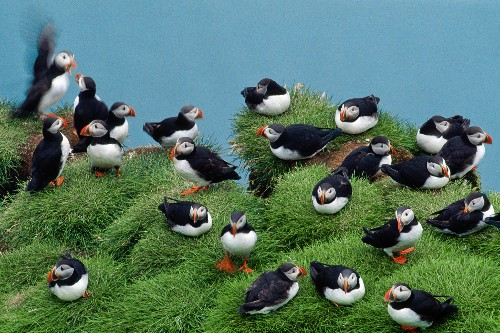 """Iceland's Seabird Colonies Are Vanishing, With """"Massive"""" Chick Deaths"""