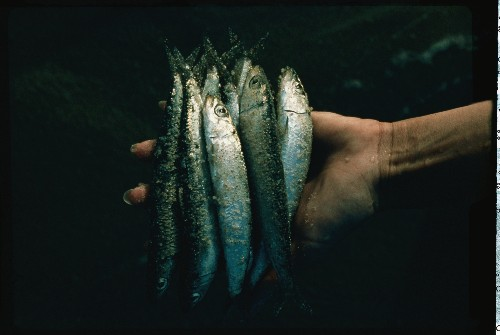 Sardines, Both Beloved and Reviled, May Be Vanishing