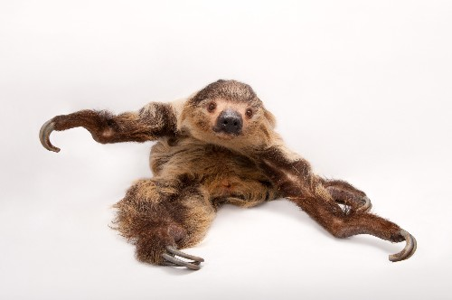 You Can't Hurry Love: How Slow-Moving Sloths Mate