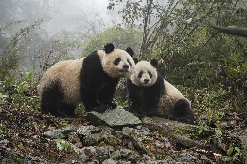 China's new panda park will be three times bigger than Yellowstone
