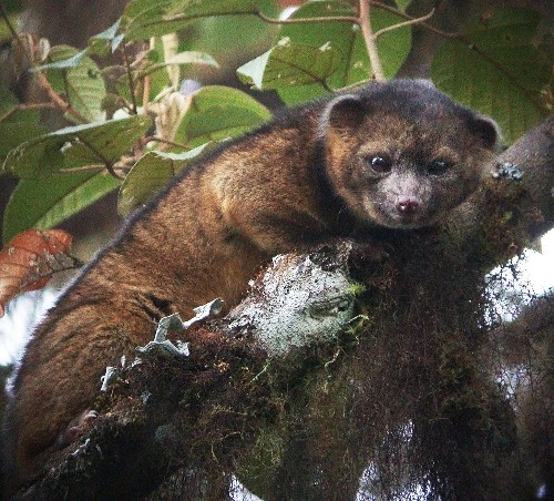 Newly Discovered Carnivore Looks Like Teddy Bear