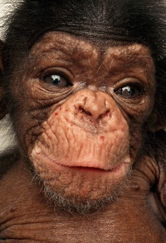 Fewer Chimpanzees Will Be Used in U.S. Research