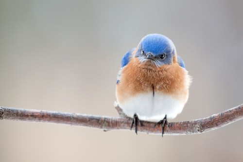 Angry Bluebird Photo by Ray Yeager — National Geographic Your Shot