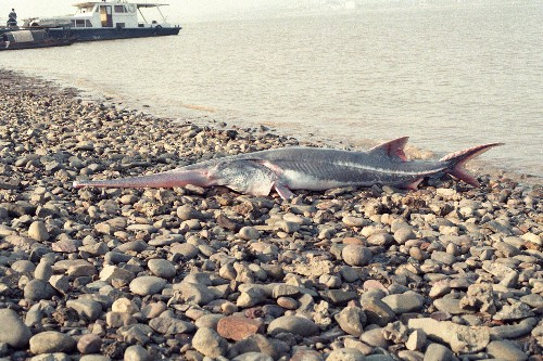 The Chinese paddlefish, one of world's largest fish, has gone extinct