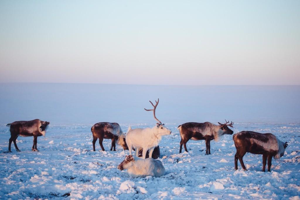 World's largest reindeer herd targeted by poachers for antler velvet