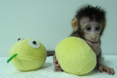 Monkey Clones Created in the Lab. Now What?