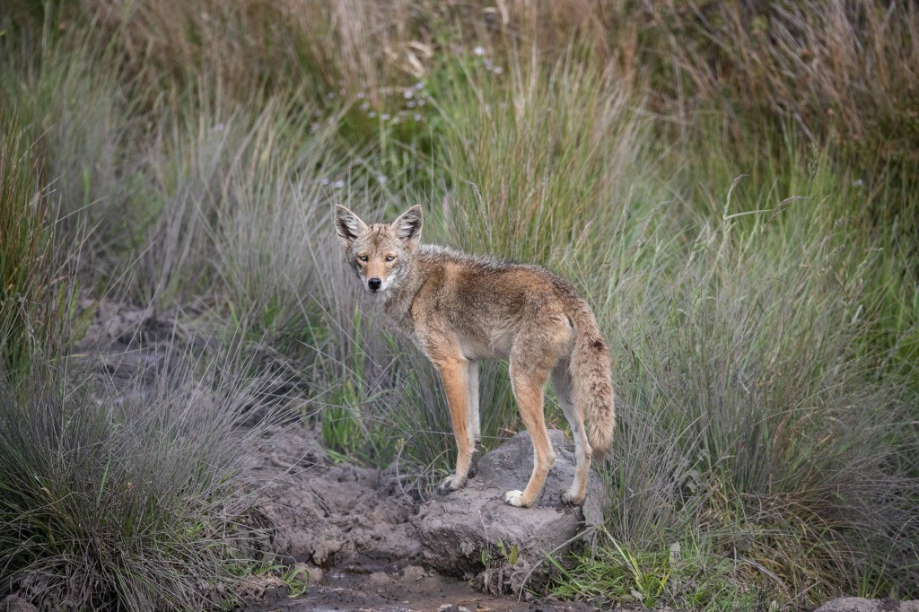 Blue-Eyed Coyote Could Be One in a Million