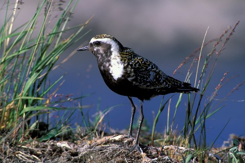 Alaska Refuge Can't Protect its Wildlife from Climate Change