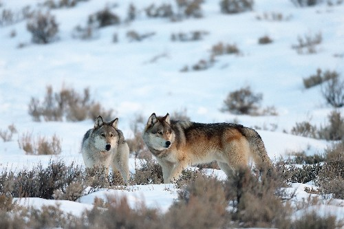 Is the gray wolf still endangered? Depends who you ask.