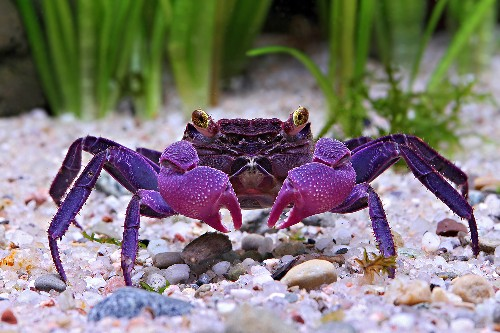 Two Vampire Crab Species Found, Are Already Popular Pets
