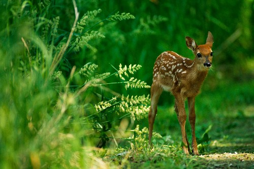 Why Do We Call Baby Deer Fawns?