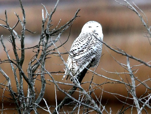 Homesick Owls Confusing Airports With Arctic Tundra
