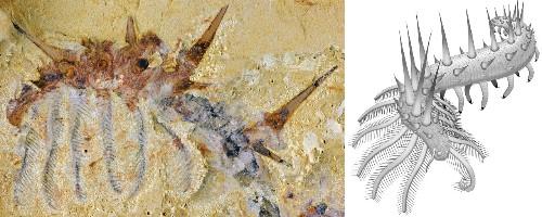 Collinsium Was One Prickly Invertebrate