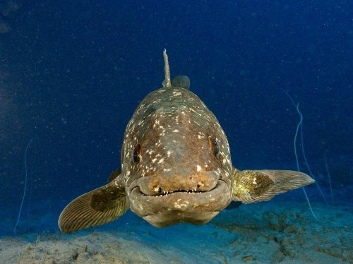 """Coelacanth Genes Mapped, """"Living Fossil"""" Evolved Slowly"""