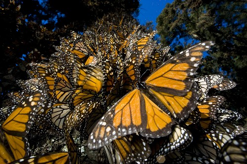 Migrating Monarch Butterflies Use Magnetic Compass to Cut Through Clouds