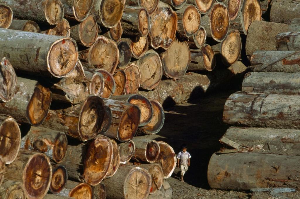 After a century of logging, Myanmar struggles to preserve its teak groves