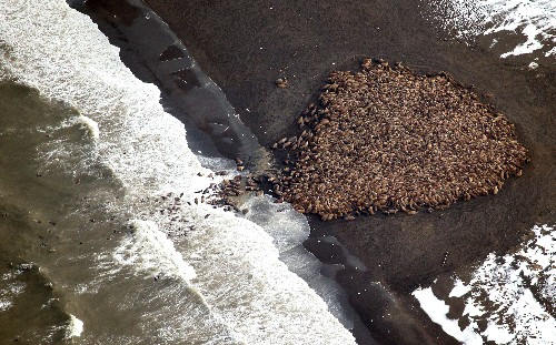 Biggest Walrus Gathering Recorded as Sea Ice Shrinks