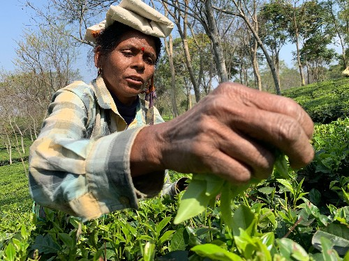 These tea plantation workers in India face poverty—and dangers