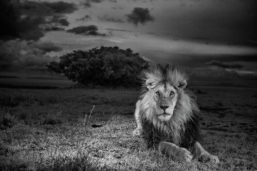 Remembering an African Lion That Defied Death
