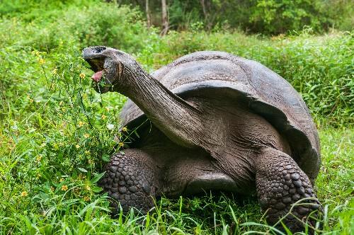 Is Exotic Diet Giving Giant Tortoises a Boost in Galapagos?