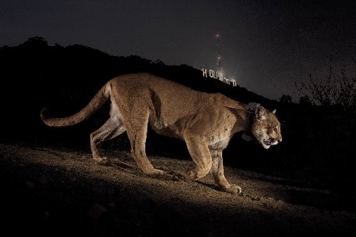 New Pictures of Hollywood Cougar Show Sleeker, Healthier Cat