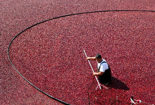 Cranberries, a Thanksgiving Staple, Were a Native American Superfood