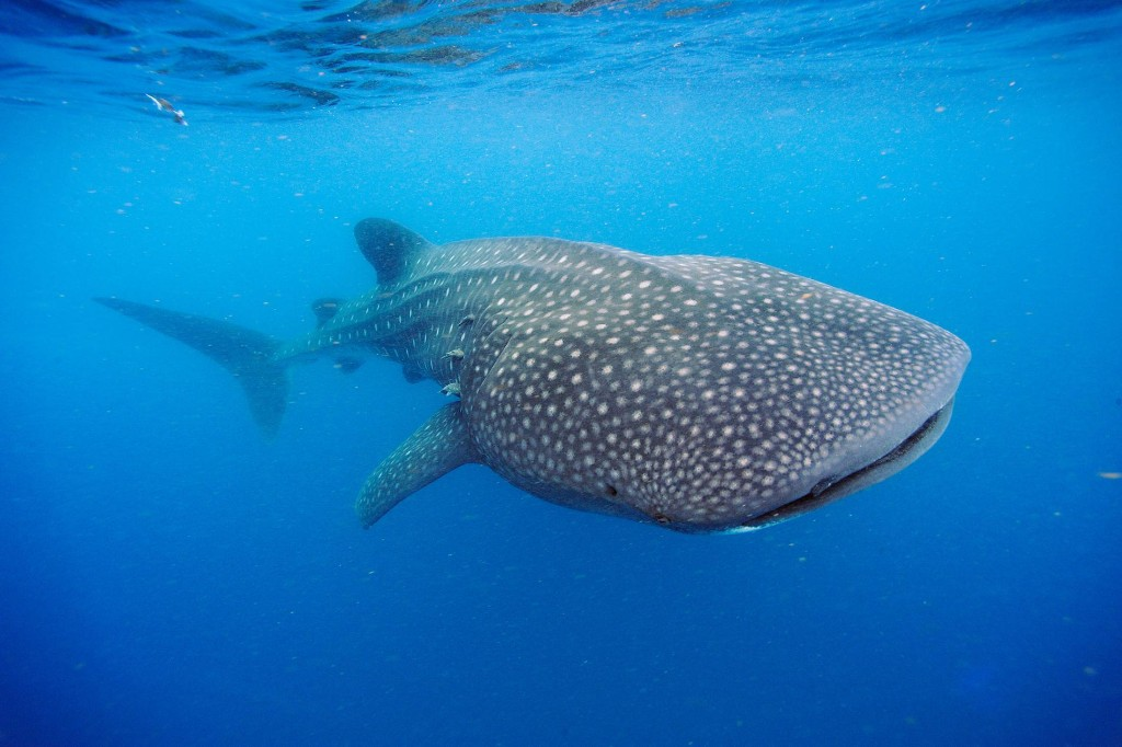 Whale sharks may live up to a century, Cold War bomb dating reveals