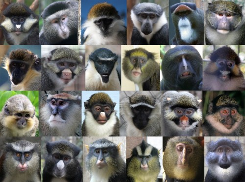 On the Origin of Colourful Monkey Faces