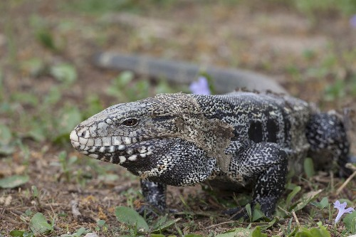Why you should never release exotic pets into the wild