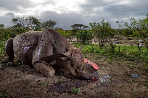 More Than 1,000 Rhinos Killed by Poachers in South Africa Last Year
