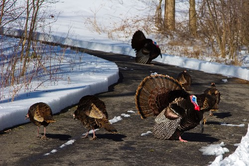Wild turkeys are at a record high in New England—but not all are thankful.