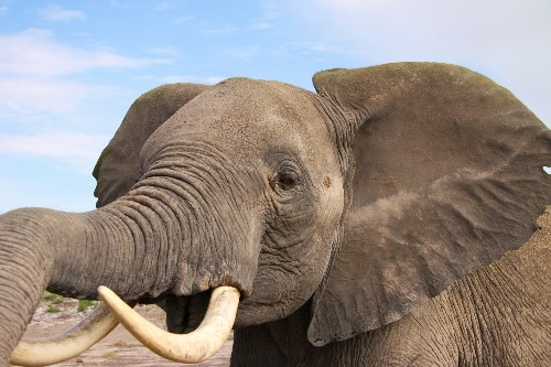 Elephants Know How Dangerous We Are From How We Speak