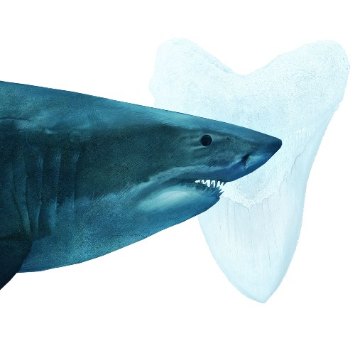 Megalodon is definitely extinct—and great white sharks may be to blame