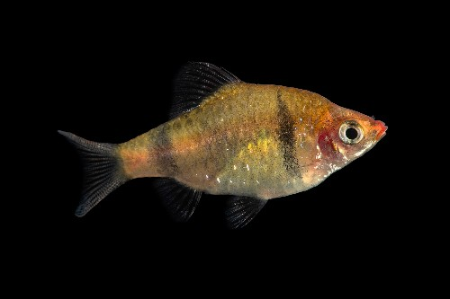 Colorful fish makes a splash as the 9,000th animal in our Photo Ark