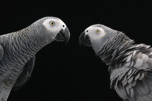 Parrots help others in need, study shows for first time