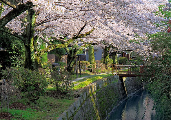 Letter from Kyoto: Cherry Blossoms in Old Japan