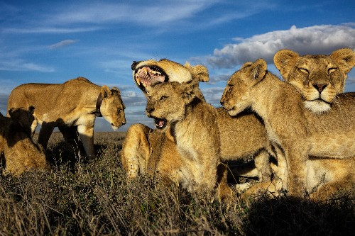 Where's Simba's mom? In real life, female lions run the pride.