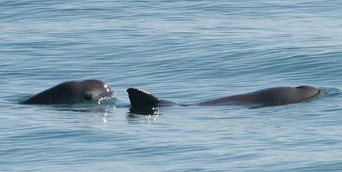 Encounter With World's Rarest Ocean Mammal Thrills Scientists