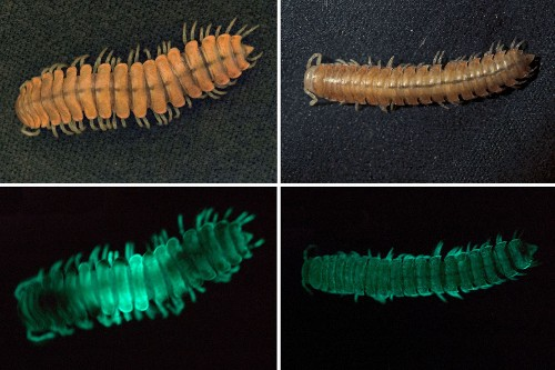 New Glowing Millipede Found; Shows How Bioluminescence Evolved