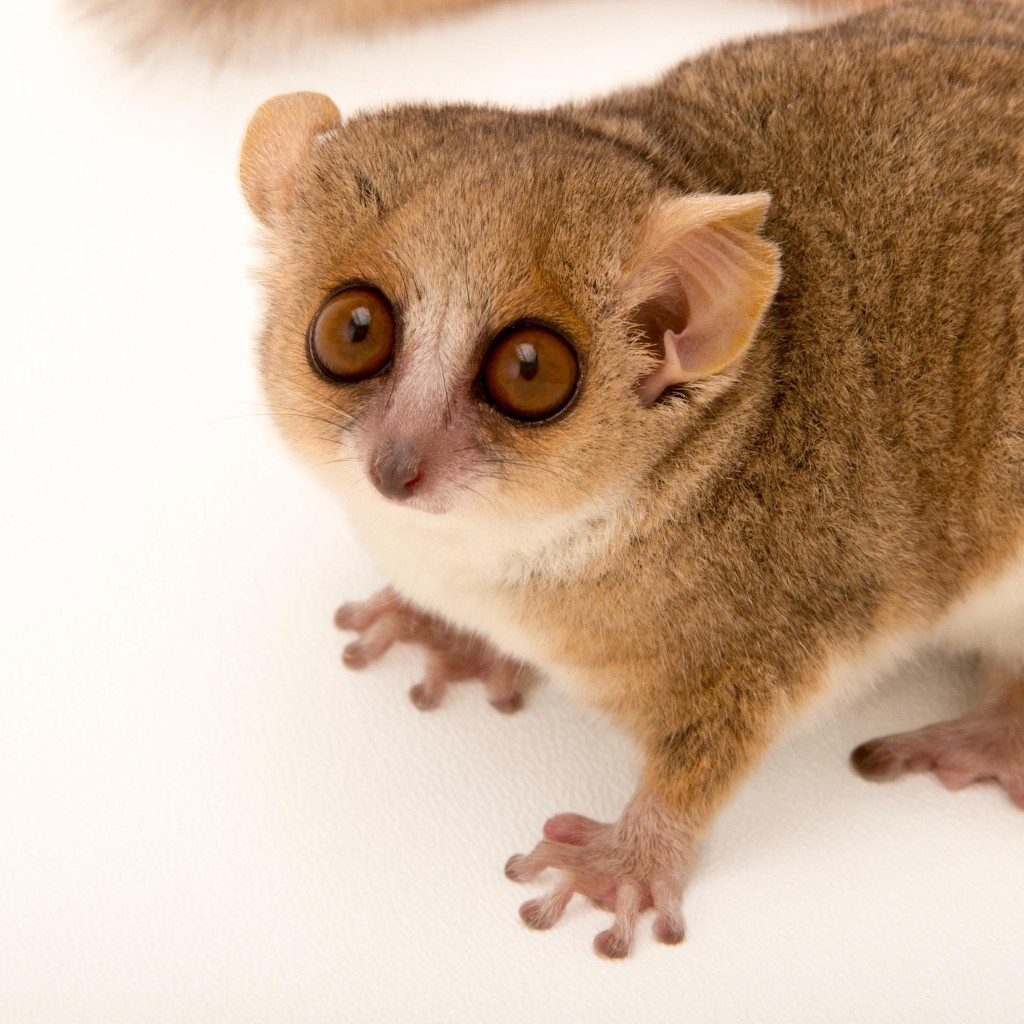 Mouse Lemurs | National Geographic
